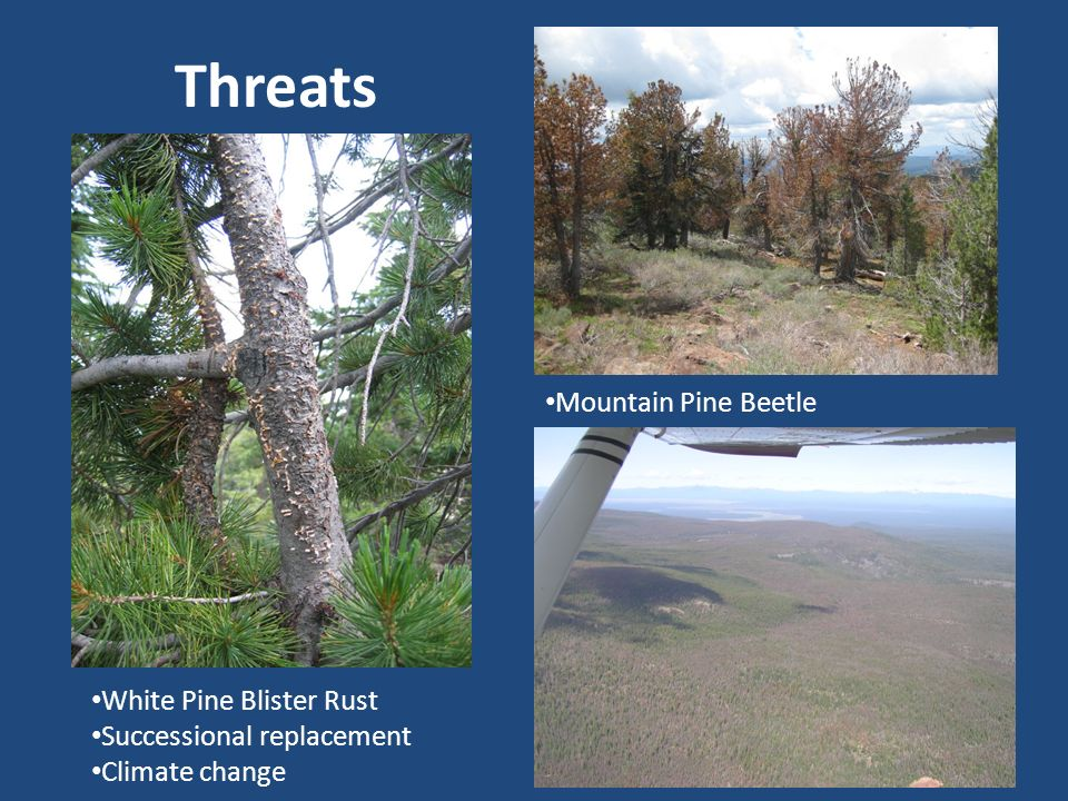 Threats Mountain Pine Beetle White Pine Blister Rust Successional replacement Climate change