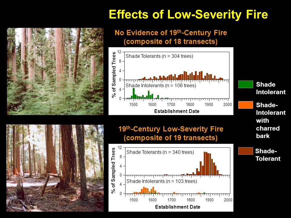 % of Sampled Trees Shade Tolerants (n = 304 trees) Shade Intolerants (n = 106 trees) Establishment Date No Evidence of 19 th -Century Fire (composite of 18 transects) % of Sampled Trees Shade Tolerants (n = 340 trees) Shade Intolerants (n = 103 trees) Establishment Date 19 th -Century Low-Severity Fire (composite of 19 transects) Effects of Low-Severity Fire Shade- Tolerant Shade Intolerant Shade- Intolerant with charred bark