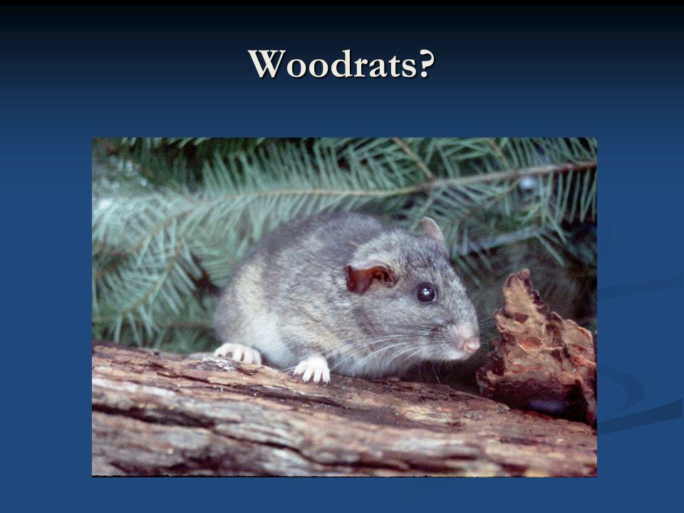 Woodrats?