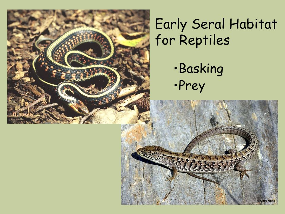 D. Vesely Early Seral Habitat for Reptiles Basking Prey
