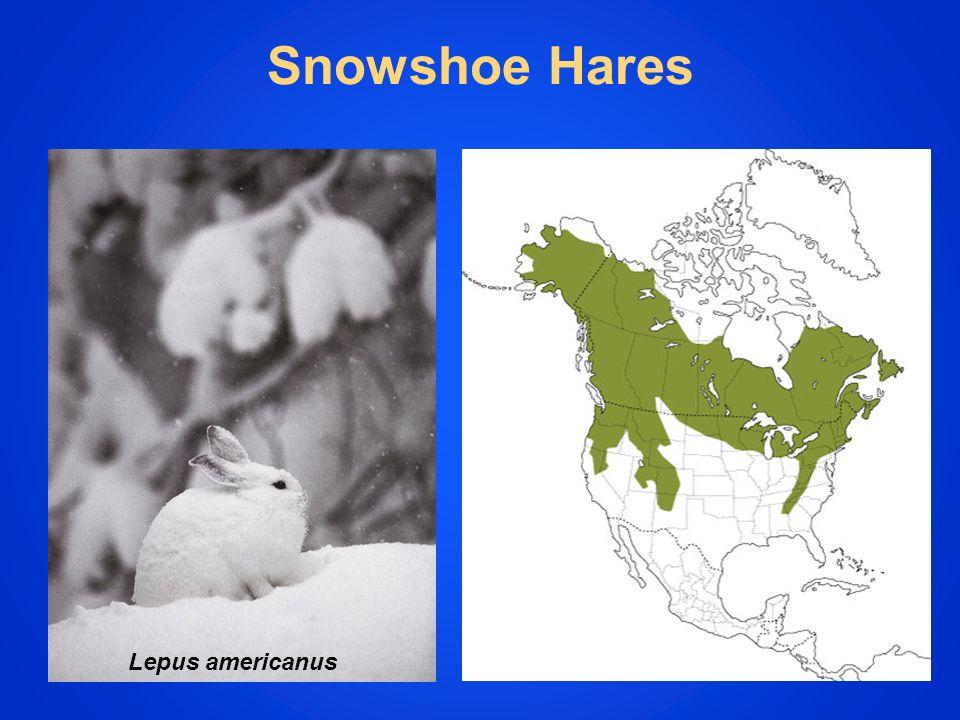 Snowshoe Hares Lepus americanus