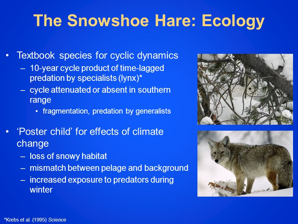 The Snowshoe Hare: Ecology Textbook species for cyclic dynamics –10-year cycle product of time-lagged predation by specialists (lynx)* –cycle attenuated or absent in southern range fragmentation, predation by generalists Poster child for effects of climate change –loss of snowy habitat –mismatch between pelage and background –increased exposure to predators during winter *Krebs et al.