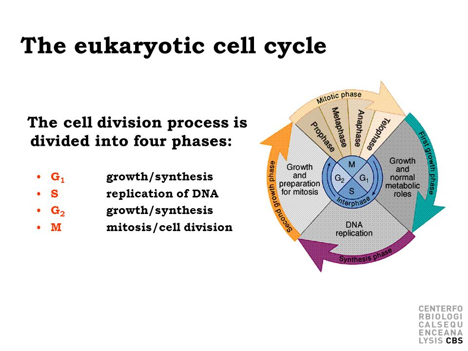 The eukaryotic cell cycle The cell division process is divided into four phases: G 1 growth/synthesis S replication of DNA G 2 growth/synthesis Mmitos