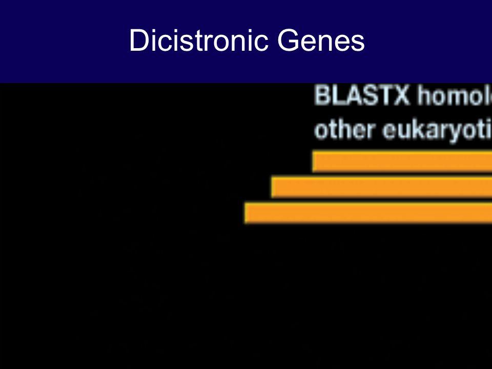 Dicistronic Genes