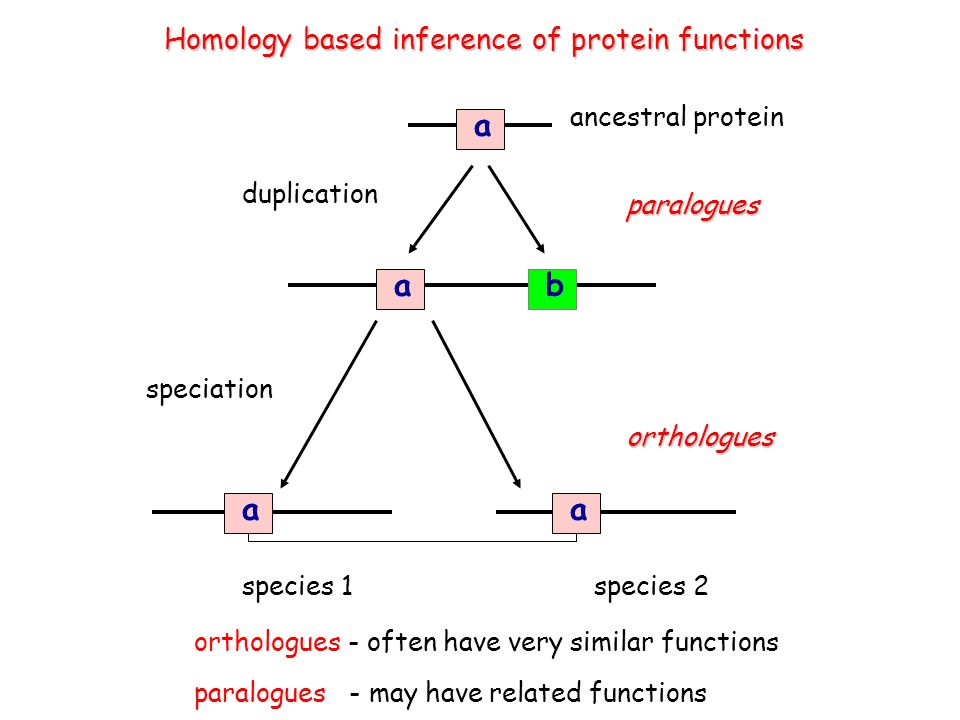 a ab duplication speciation species 1species 2 aa paralogues orthologues Homology based inference of protein functions orthologues - often have very similar functions paralogues - may have related functions ancestral protein