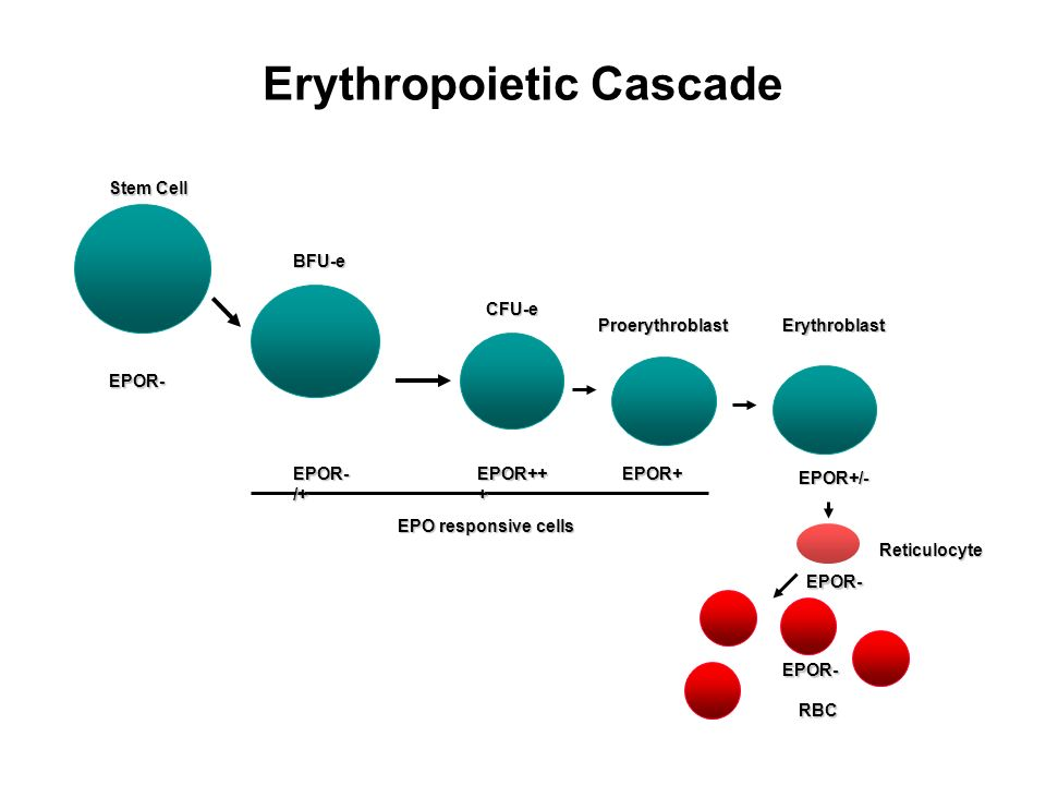 Erythropoietic Cascade Stem Cell BFU-e CFU-e ProerythroblastErythroblast Reticulocyte RBC EPO responsive cells EPOR- /+ EPOR++ + EPOR+ EPOR- EPOR+/- E