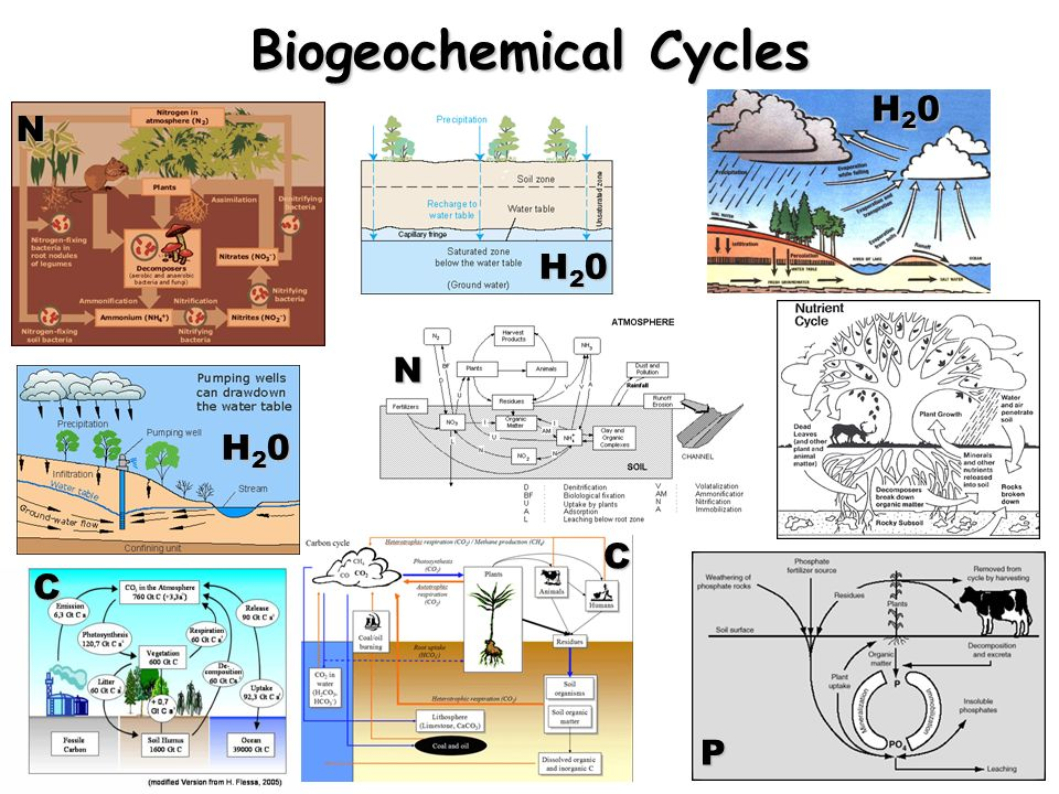 N H20H20H20H20 H20H20H20H20 H20H20H20H20 C C N P Biogeochemical Cycles