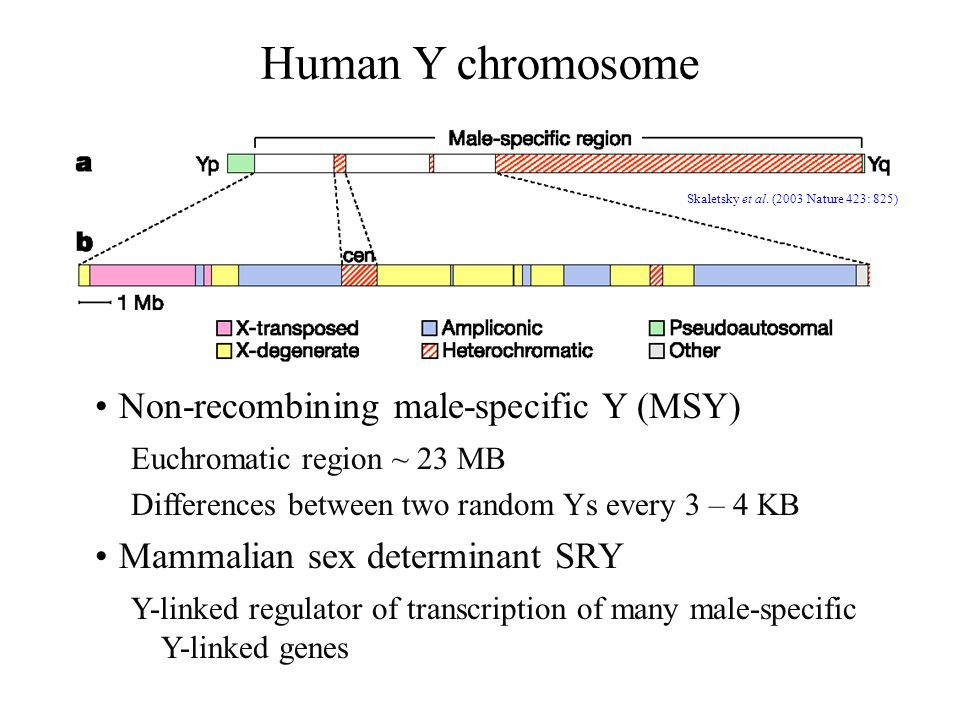 Human Y chromosome Skaletsky et al. (2003 Nature 423: 825) Non-recombining male-specific Y (MSY) Euchromatic region ~ 23 MB Differences between two ra