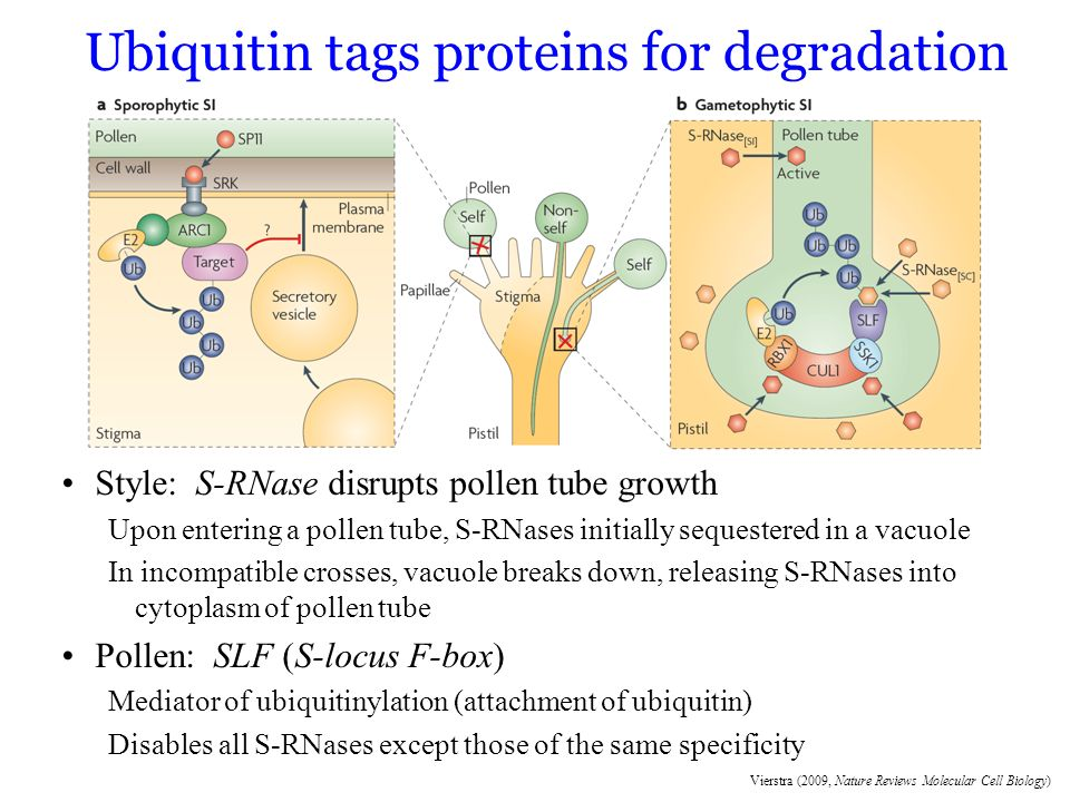 Vierstra (2009, Nature Reviews Molecular Cell Biology) Ubiquitin tags proteins for degradation Style: S-RNase disrupts pollen tube growth Upon enterin