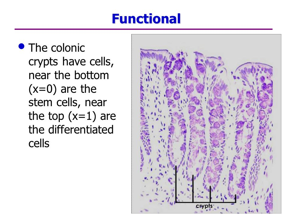 Functional The colonic crypts have cells, near the bottom (x=0) are the stem cells, near the top (x=1) are the differentiated cells