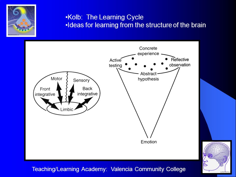 Teaching/Learning Academy: Valencia Community College Kolb: The Learning Cycle Ideas for learning from the structure of the brain