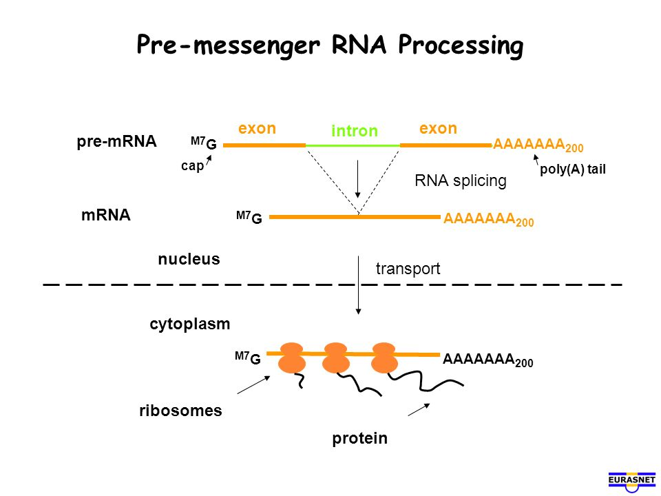 Pre-messenger RNA Processing cytoplasm nucleus mRNA RNA splicing M7 G AAAAAAA 200 pre-mRNA intron exon AAAAAAA 200 M7 G transport M7 G AAAAAAA 200 rib