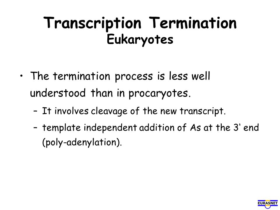 Transcription Termination Eukaryotes The termination process is less well understood than in procaryotes. –It involves cleavage of the new transcript.