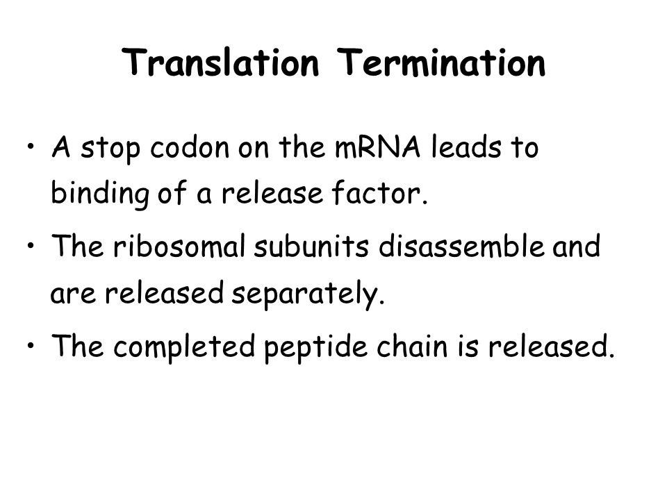 Translation Termination A stop codon on the mRNA leads to binding of a release factor. The ribosomal subunits disassemble and are released separately.