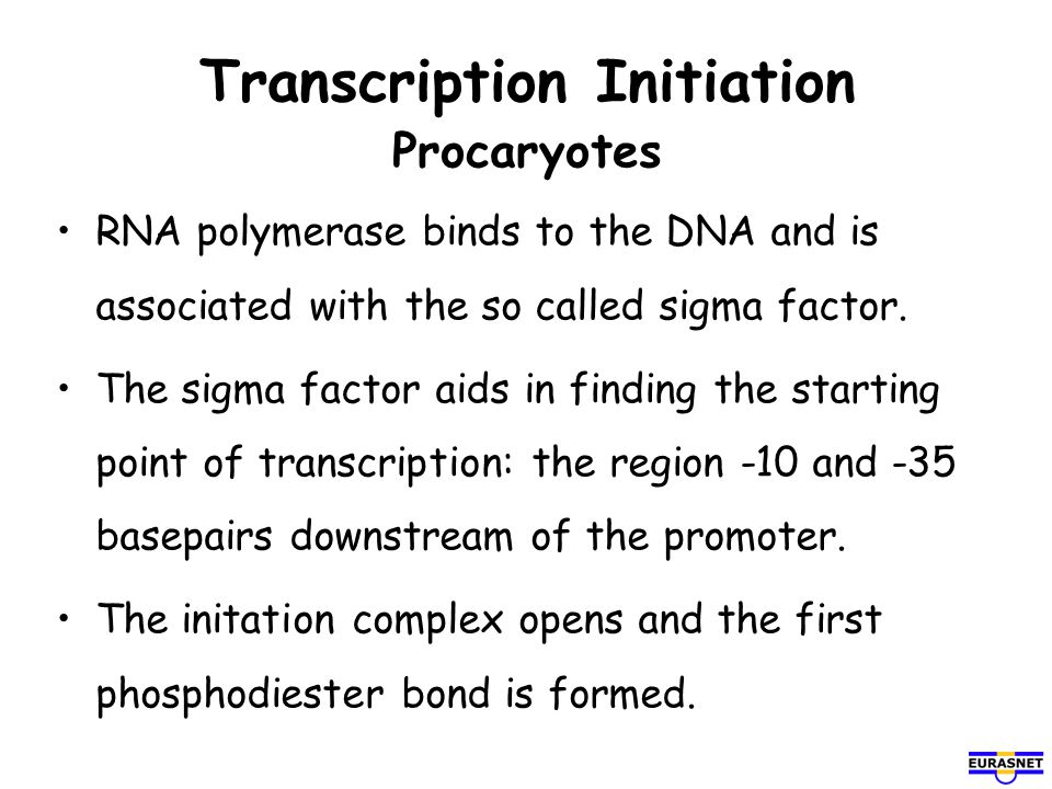Transcription Initiation Eucaryotes Transcription factors mediate binding of the RNA polymerase.