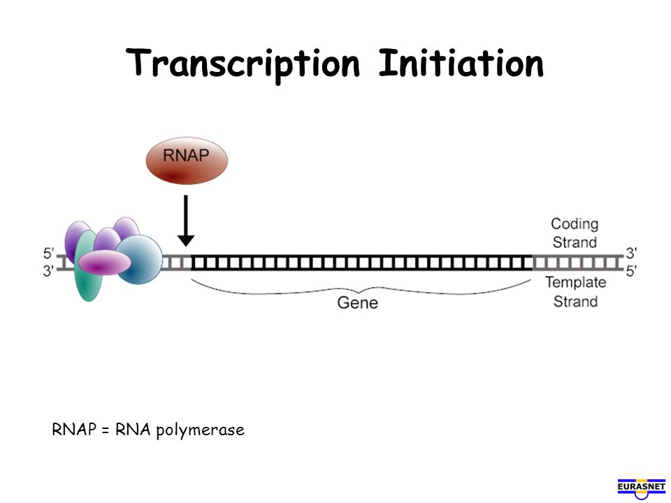Transcription Initiation RNAP = RNA polymerase