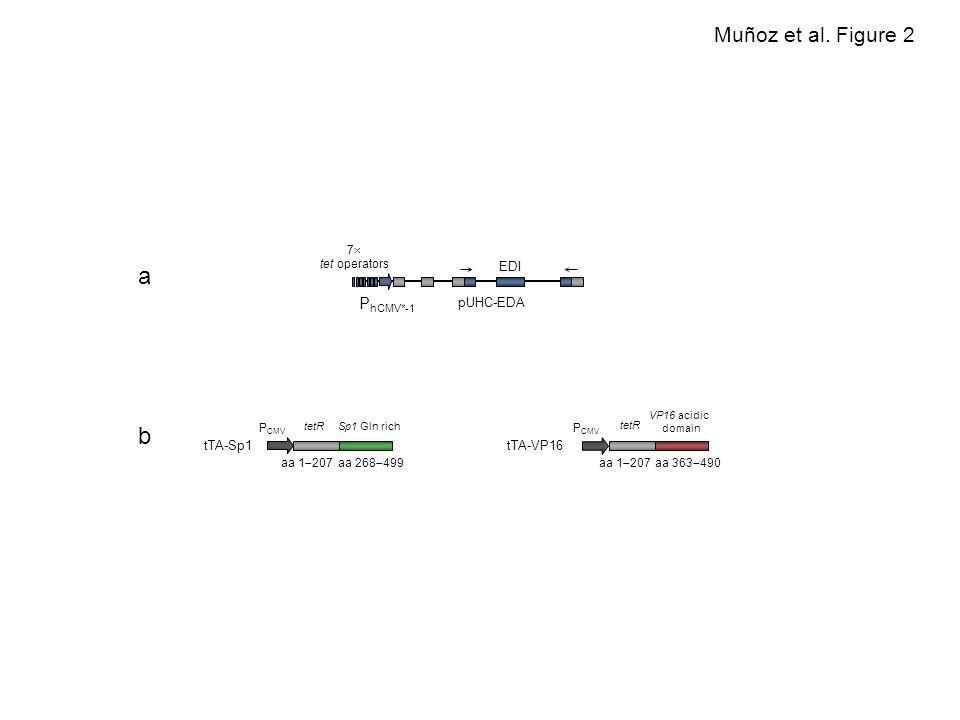 EDI P hCMV*-1 7 tet operators pUHC-EDA tTA-Sp1 tetR aa 1 207 Sp1 Gln rich aa 268 499 P CMV tTA-VP16 tetR aa 1 207 VP16 acidic domain aa 363 490 P CMV Muñoz et al.