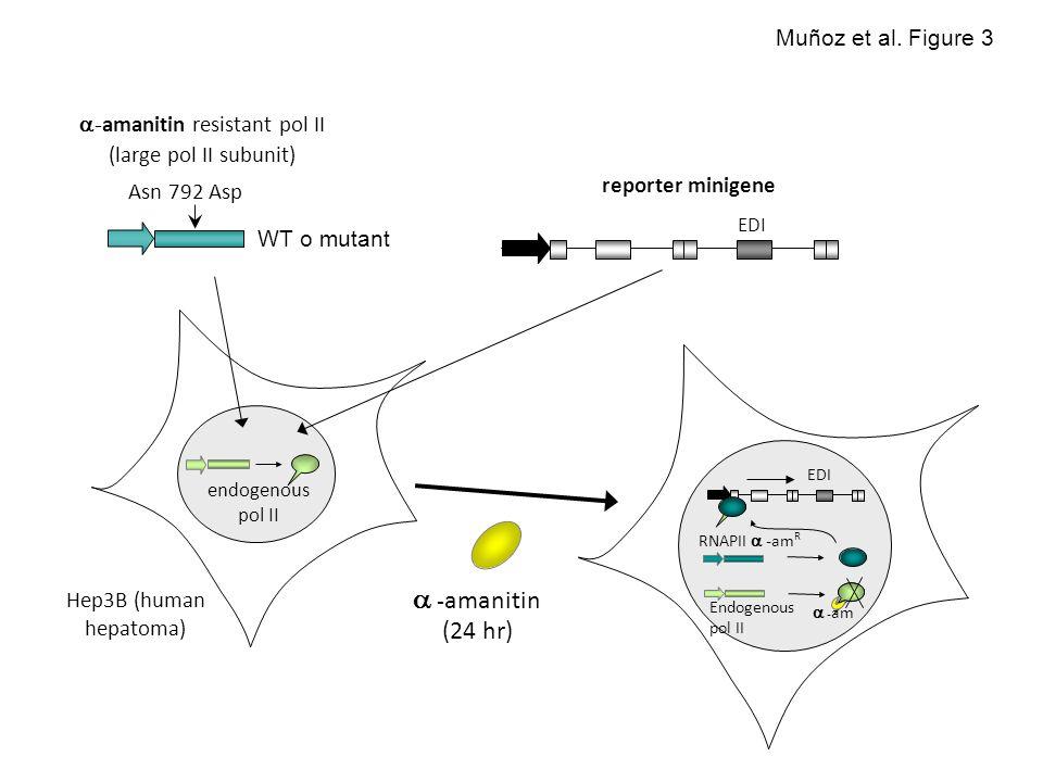- amanitin resistant pol II (large pol II subunit) endogenous pol II - amanitin (24 hr) RNAPII - am R Endogenous pol II EDI - am WT o mutant EDI Hep3B (human hepatoma) Asn 792 Asp Muñoz et al.