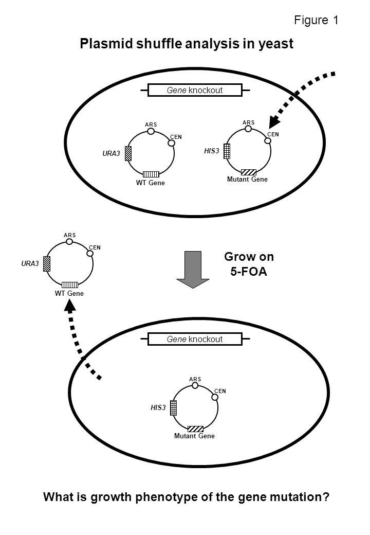 Grow on 5-FOA ARS CEN LEU2 Mutant Gene 1 ARS CEN HIS3 Mutant Gene 2 URA3 ARS CEN Gene 1 Gene 2 Gene 1 knockoutGene 2 knockout Gene 1 knockout Gene 2 knockout What is growth phenotype of two viable mutants combined.