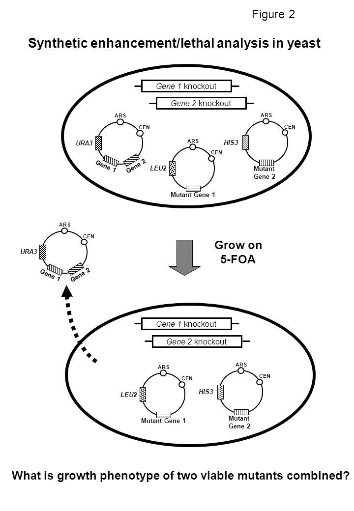Grow on 5-FOA ARS CEN LEU2 Mutant Gene 1 ARS CEN HIS3 Mutant Gene 2 URA3 ARS CEN Gene 1 Gene 2 Gene 1 knockoutGene 2 knockout Gene 1 knockout Gene 2 k