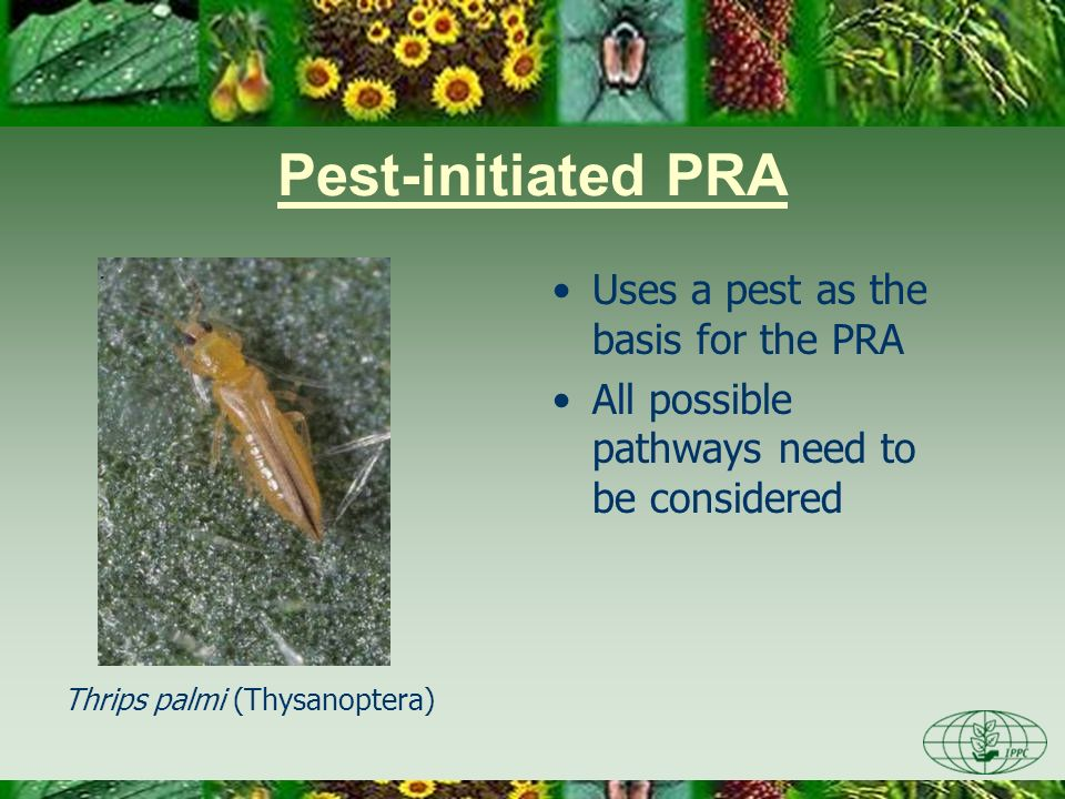 Pest-initiated PRA Uses a pest as the basis for the PRA All possible pathways need to be considered Thrips palmi (Thysanoptera)