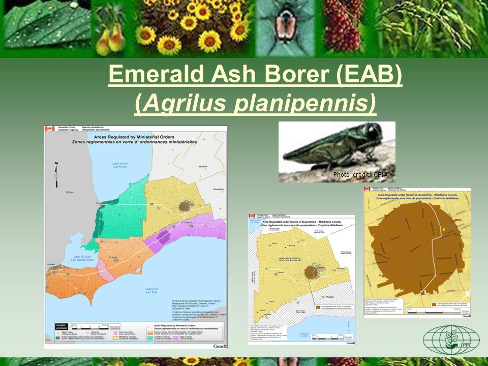 Emerald Ash Borer (EAB) (Agrilus planipennis) Photo credit: CFIA
