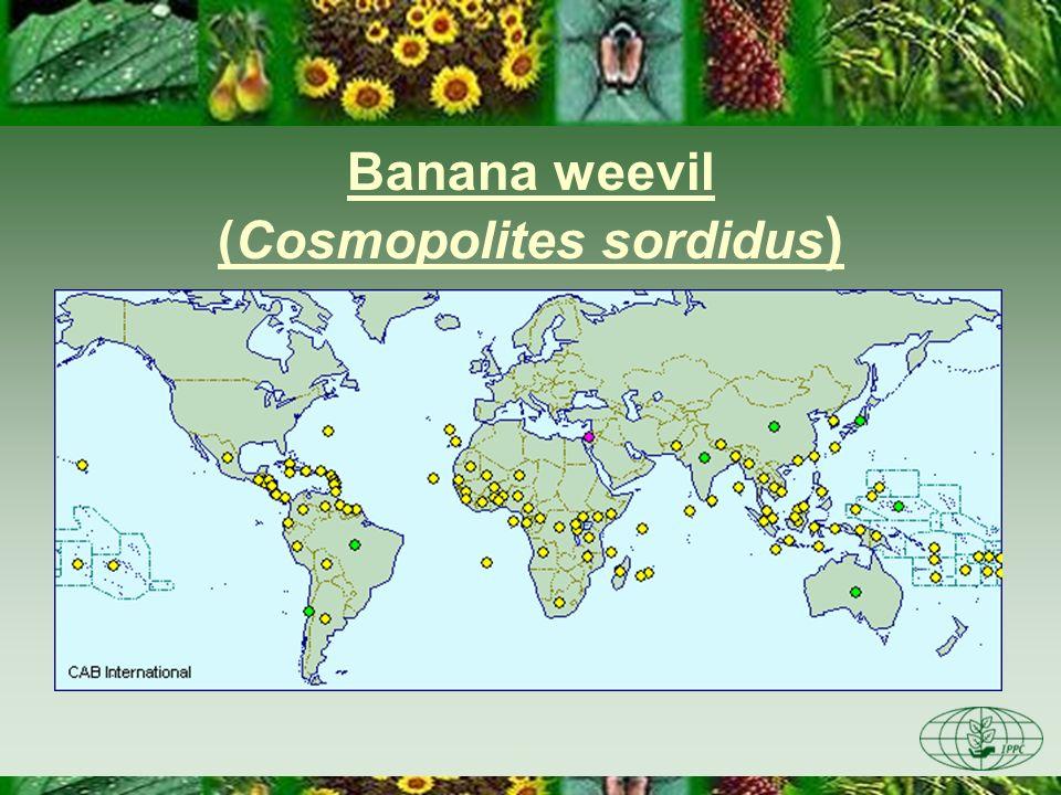 Banana weevil (Cosmopolites sordidus )