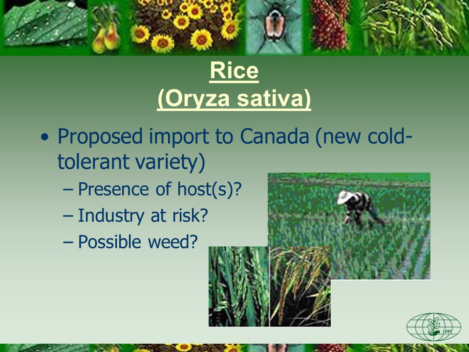 Proposed import to Canada (new cold- tolerant variety) –Presence of host(s)? –Industry at risk? –Possible weed? Rice (Oryza sativa) Photo credit: Nige