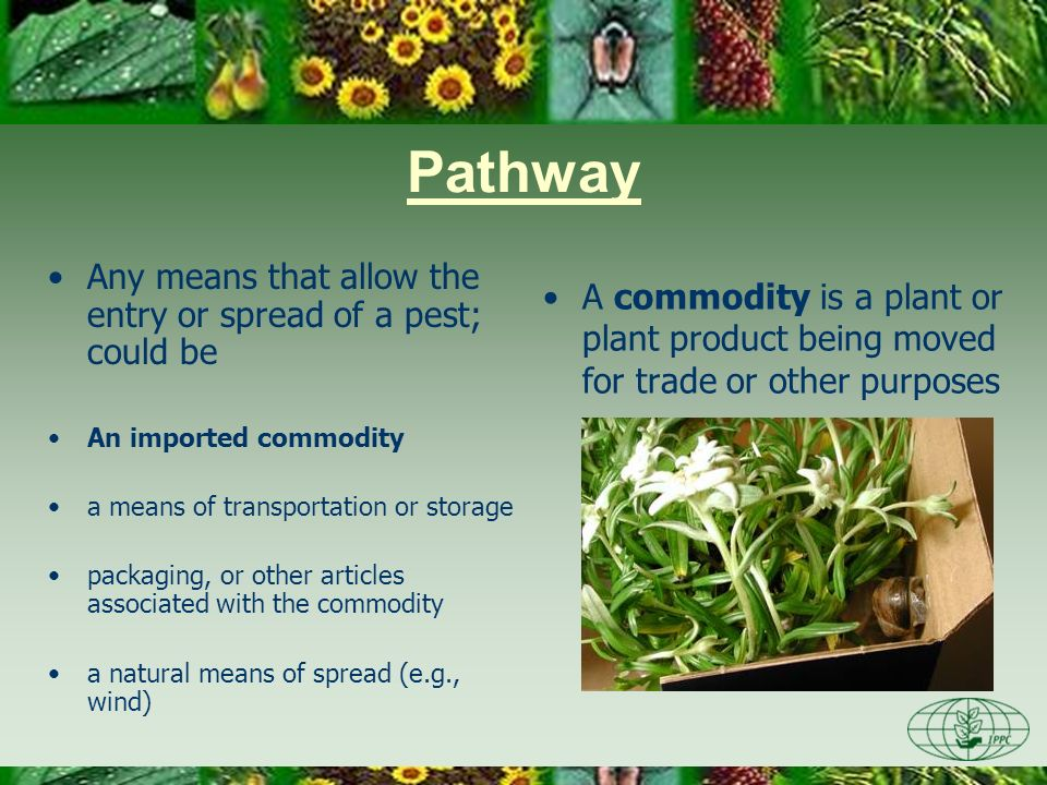 Pathway Any means that allow the entry or spread of a pest; could be an imported commodity a means of transportation or storage packaging, or other articles associated with the commodity a natural means of spread (e.g., wind)