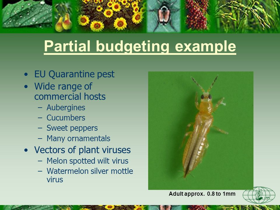 Partial budgeting example EU Quarantine pest Wide range of commercial hosts –Aubergines –Cucumbers –Sweet peppers –Many ornamentals Vectors of plant v