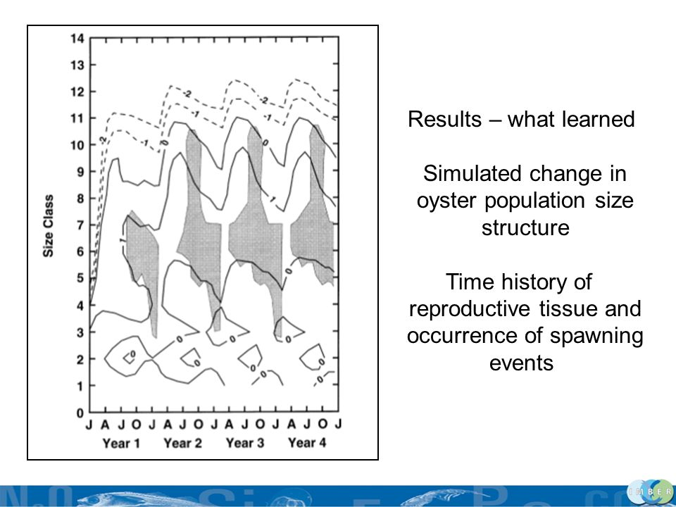 Results – what learned Simulated change in oyster population size structure Time history of reproductive tissue and occurrence of spawning events