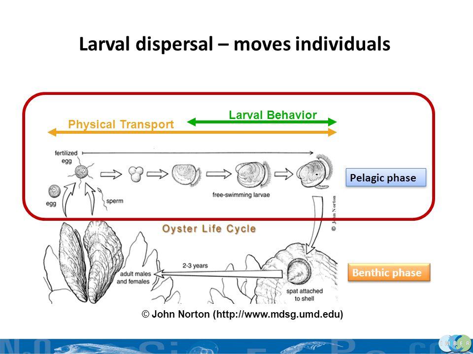 29 Larval dispersal – moves individuals © John Norton (http://www.mdsg.umd.edu) Pelagic phase Benthic phase Physical Transport Larval Behavior