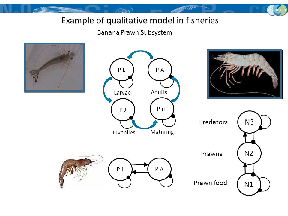 Banana Prawn Subsystem P LP A P J P m Juveniles Adults Larvae Maturing P A P J N3 N2 N1 Prawn food Prawns Predators Example of qualitative model in fi