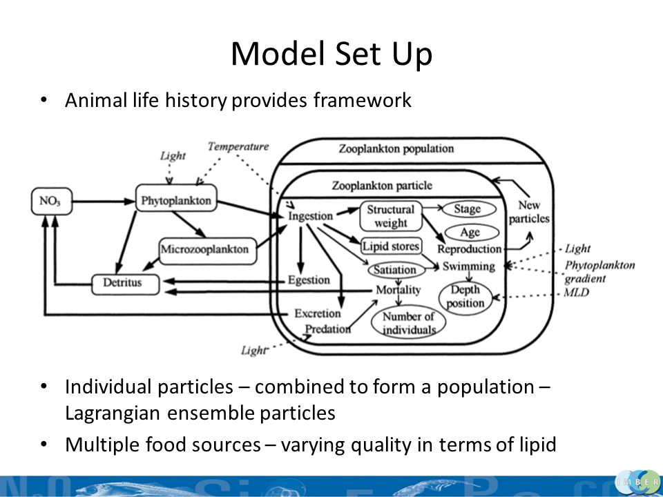 Model Set Up Animal life history provides framework Defined particular attributes for each stage – Individual particles – combined to form a populatio