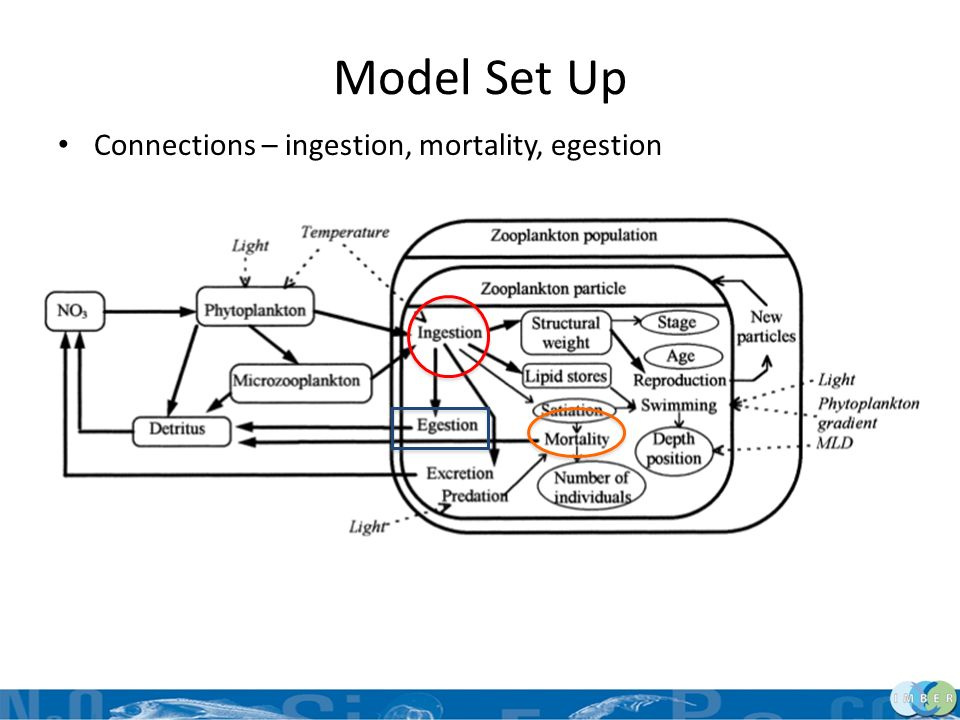 Model Set Up Connections – ingestion, mortality, egestion Defined particular attributes for each stage –