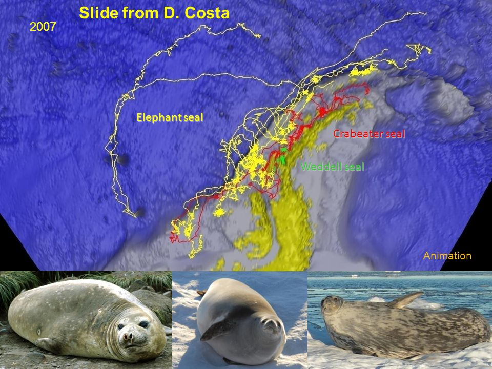 Elephant seal Weddell seal Crabeater seal Animation 2007 Slide from D. Costa