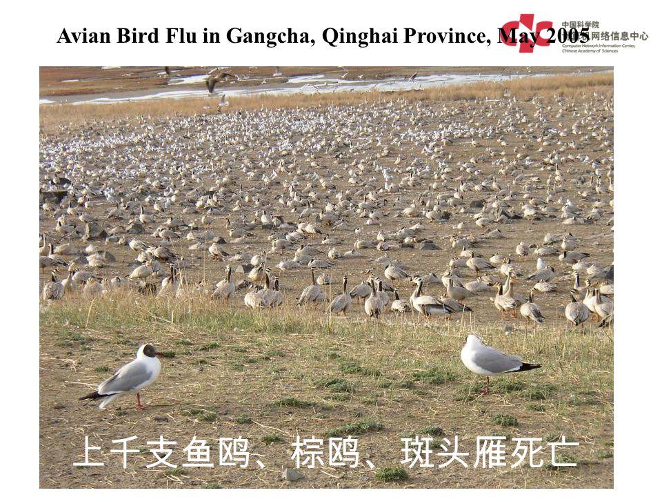 Avian Bird Flu in Gangcha, Qinghai Province, May 2005