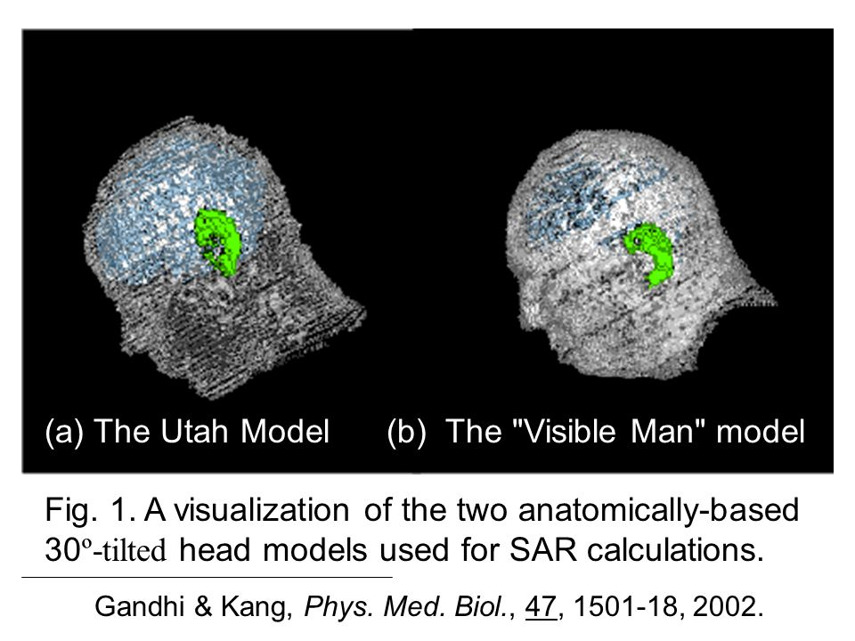 (b) The Visible Man model (a) The Utah Model Gandhi & Kang, Phys.