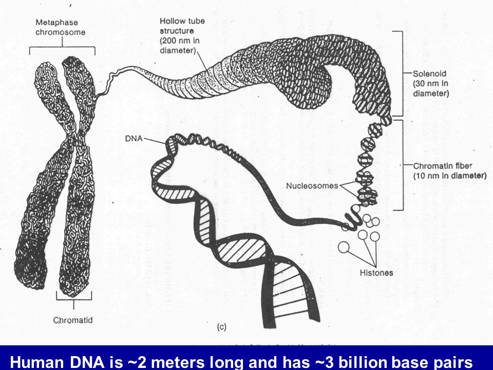 Human DNA is ~2 meters long and has ~3 billion base pairs
