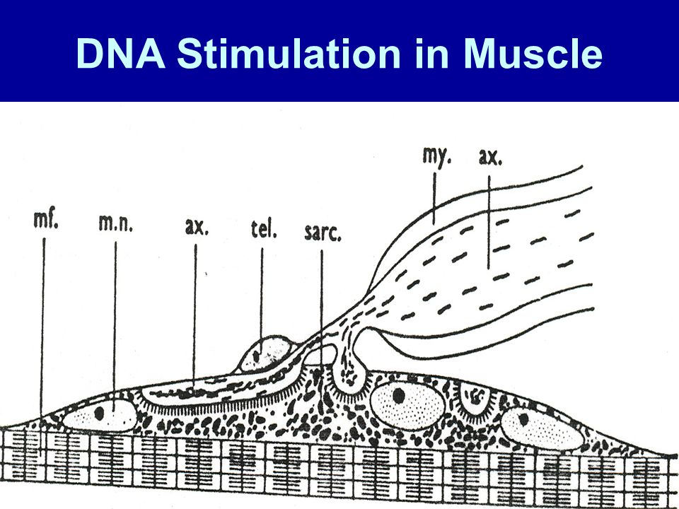 DNA Stimulation in Muscle