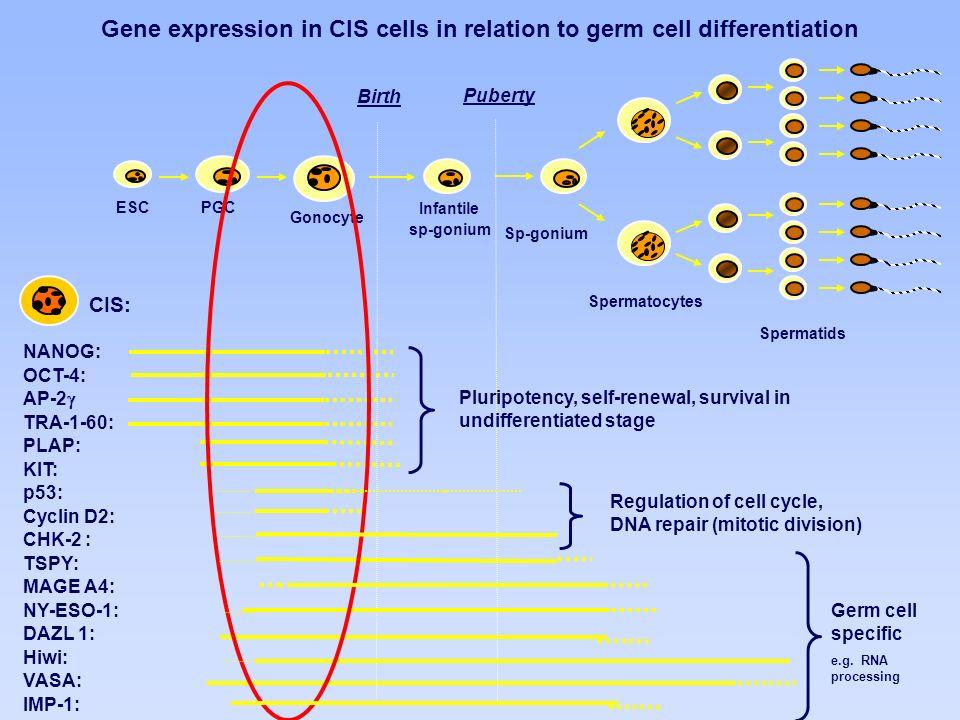 Spermatocytes Spermatids Sp-gonium PGCESC Gonocyte Infantile sp-gonium NANOG: OCT-4: AP-2 TRA-1-60: PLAP: KIT: p53: Cyclin D2: CHK-2 : TSPY: MAGE A4: