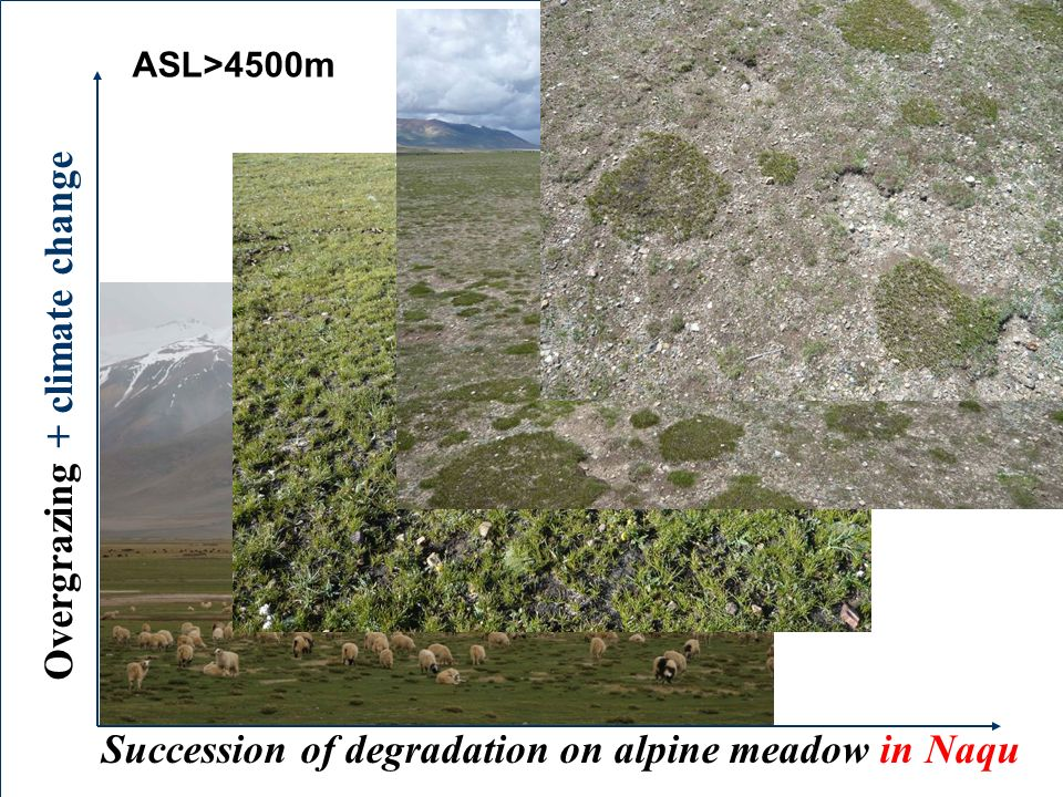 Succession of degradation on alpine meadow in Naqu Overgrazing + climate change Heavy Extreme ASL>4500m