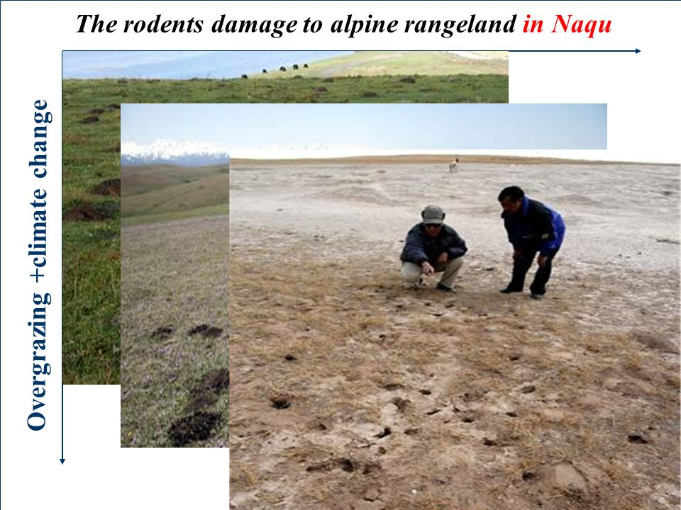 The rodents damage to alpine rangeland in Naqu Overgrazing +climate change