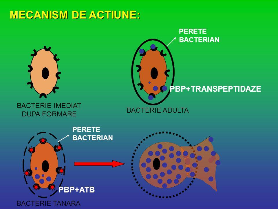 MECANISM DE ACTIUNE: PERETE BACTERIAN PBP+TRANSPEPTIDAZE PBP+ATB BACTERIE IMEDIAT DUPA FORMARE BACTERIE ADULTA BACTERIE TANARA PERETE BACTERIAN