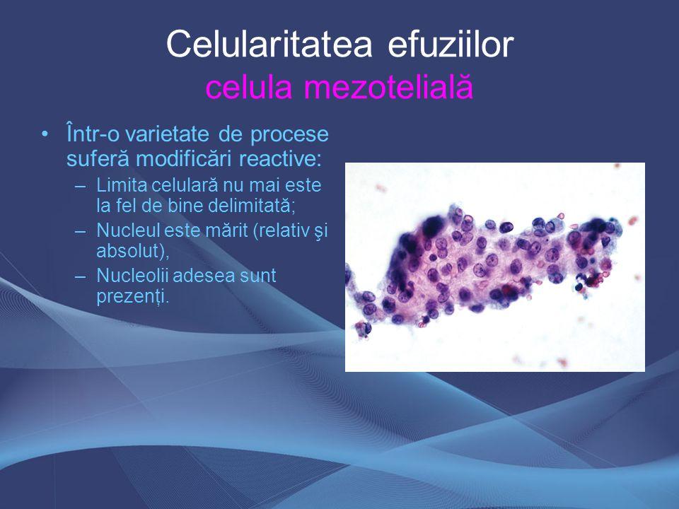 Într-o varietate de procese suferă modificări reactive: –Limita celulară nu mai este la fel de bine delimitată; –Nucleul este mărit (relativ şi absolu