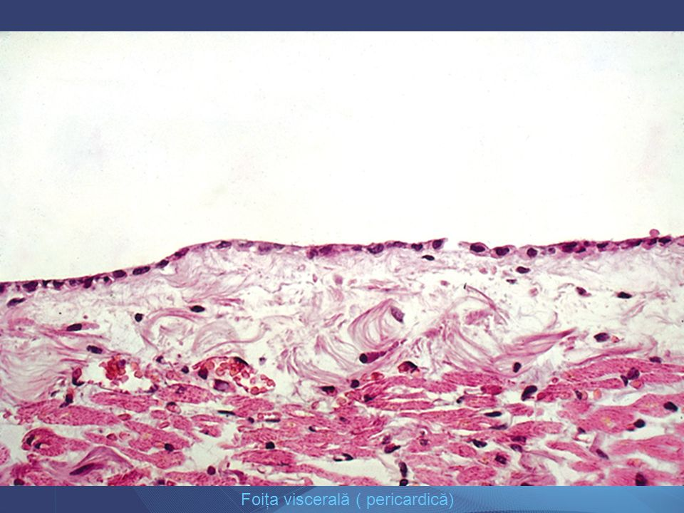 Foiţa viscerală ( pericardică)