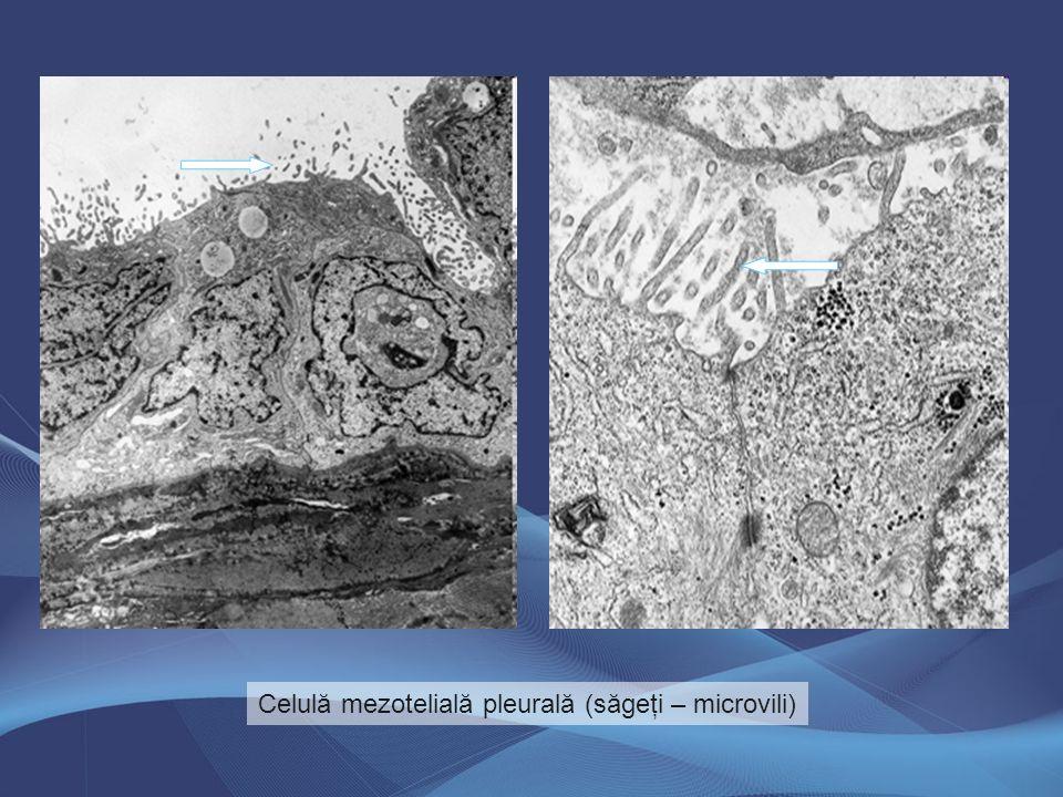 Celulă mezotelială pleurală (săgeţi – microvili)