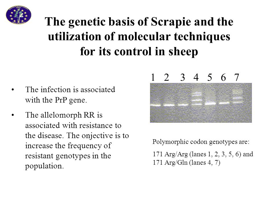 The genetic basis of Scrapie and the utilization of molecular techniques for its control in sheep 1 2 3 4 5 6 7 Polymorphic codon genotypes are: 171 Arg/Arg (lanes 1, 2, 3, 5, 6) and 171 Arg/Gln (lanes 4, 7) The infection is associated with the PrP gene.