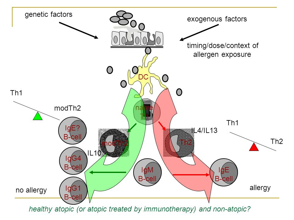 IgG1 B-cell DC Th2 naïve Th IgM B-cell no allergy IL4/IL13 IL10 Th1 Th2 allergy IgE B-cell genetic factors exogenous factors timing/dose/context of allergen exposure modTh2 IgG4 B-cell Th1 modTh2 IgE.