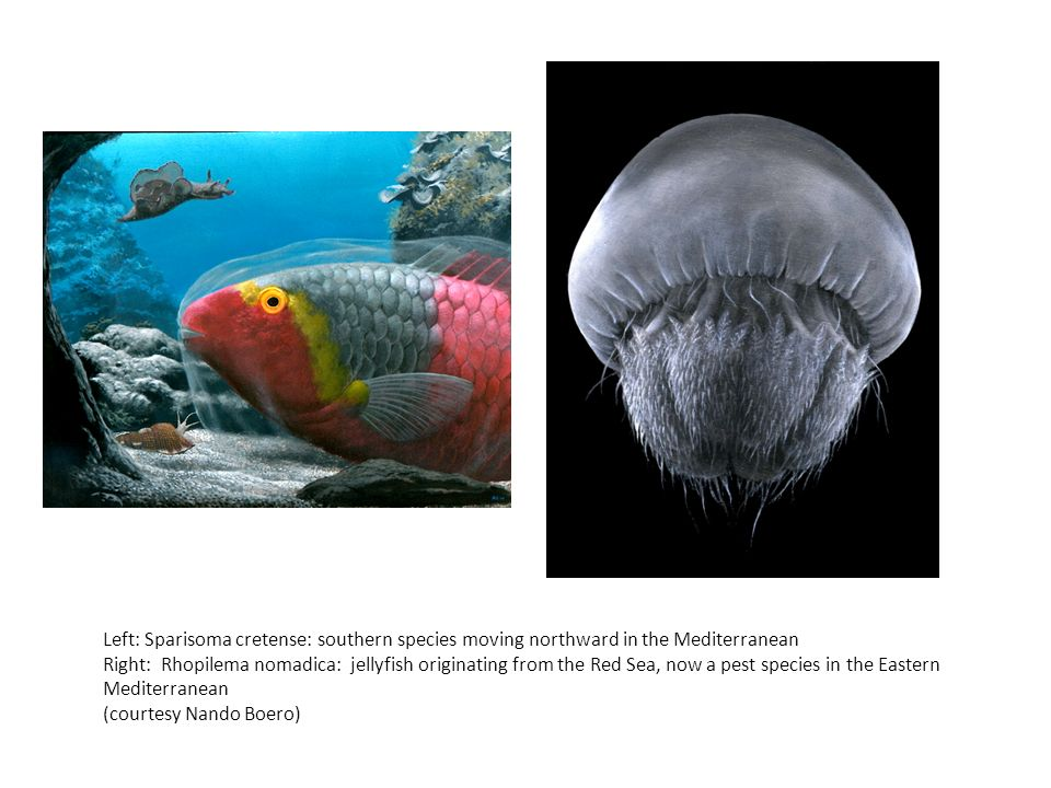 Left: Sparisoma cretense: southern species moving northward in the Mediterranean Right: Rhopilema nomadica: jellyfish originating from the Red Sea, no